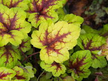 Heucherella `Stoplight`. Foamy bells closeup stock photography