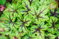 Heucherella Tapestry closeup in summer garden. Stock Photos