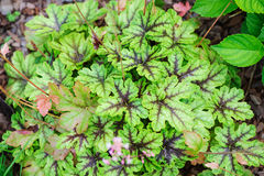 Heucherella Tapestry closeup in summer garden Stock Photos