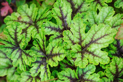 Heucherella Tapestry closeup in summer garden. Growing perennials in shady spots Royalty Free Stock Photos