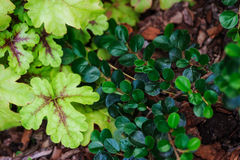 Heucherella Tapestry closeup in summer garden Stock Images