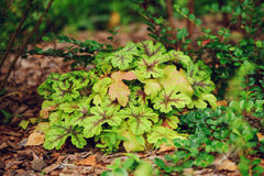 Heucherella Tapestry planted in border in summer Royalty Free Stock Photography