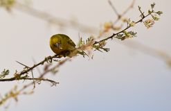 Heuglin´s masked weaver with spider Stock Photography