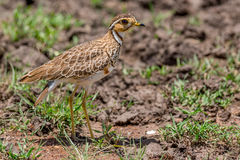 Heuglin's (Three-banded) Courser Royalty Free Stock Photo