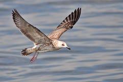Heuglins fiskmås Fotografering för Bildbyråer