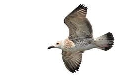 Heuglins Gull Royalty Free Stock Photography