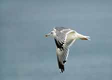 Heuglins gull in flight Stock Images