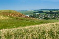 Heugras wächst auf einem Gebiet, während eine Herde von Dorfkühen und Schafe in das Ba sich bewegen Lizenzfreie Stockbilder