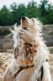 Heulender Hund Lizenzfreie Stockfotos