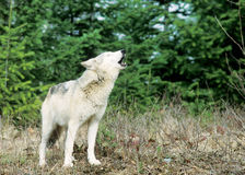 Heulenwolf Stockfotos