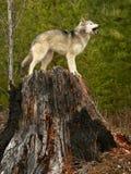 Heulenwolf auf Baum-Stumpf lizenzfreies stockbild