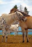 Heure d'été de village de nature de chevaux Photographie stock libre de droits