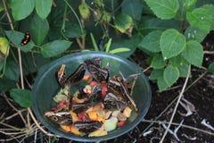 Heure du repas pour des papillons Image libre de droits