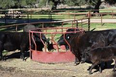 Heure du repas pour des vaches et des veaux à Angus Image stock