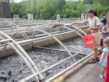 Heure du repas pour la truite à l'exploitation de pisciculture Images stock