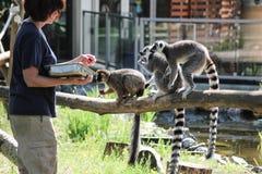 Heure du repas pour le groupe/troupe de lémurs Photographie stock