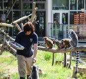 Heure du repas pour le groupe/troupe de lémurs Photo stock