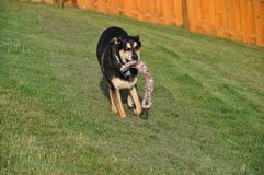 heures de récréation pour le grand chien avec la corde Photo libre de droits