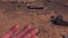 Heuschrecke-Akrobat haftet dem Finger eines Mannes an stock footage