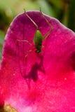 Heuschrecke auf Blume Stockbild