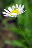 Heuschrecke auf Blume Stockfoto