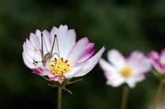 Heuschrecke auf der Blume Lizenzfreies Stockbild