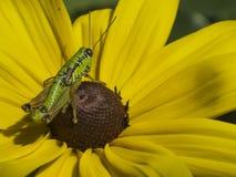 Heuschrecke auf gelber Blume Stockfotos
