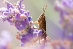 Heuschrecke auf Lavendel lizenzfreie stockbilder