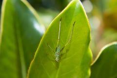 Heuschrecke auf Magnolien-Blatt stockbilder