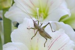 Heuschrecke auf Nahaufnahmemakroschuß der weißen Blume Stockfotos