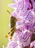 Heuschrecke auf wilder Orchidee Stockfoto