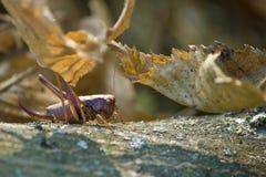 Heuschrecke in der natürlichen forrest Umgebung Stockbild