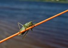 Heuschrecke, die auf einer Angelrute sitzt Stockfotos