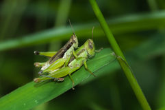 Heuschrecke, die auf grünem Blatt hockt Stockfoto