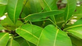 Heuschrecke, die auf Mangoblätter hochragt Lizenzfreie Stockfotos