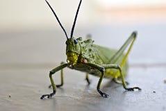 Heuschrecke - klopfend an der Tür Stockbild