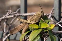 Heuschrecke Locusta migratoria Lizenzfreies Stockfoto
