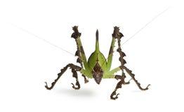 Heuschrecke, malaysisches Blatt Katydid stockfoto