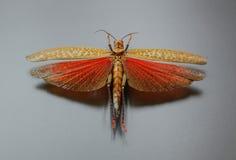 Heuschrecke mit ausgebreiteten Flügeln Stockfotografie