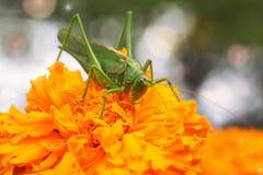 Heuschrecke sitzt auf einer Ringelblume Lizenzfreies Stockfoto
