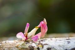 Heuschrecke in Thailand Lizenzfreies Stockbild