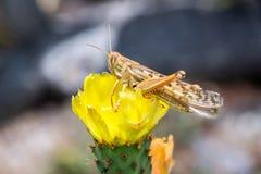 Heuschrecke und gelbe Blume Stockfotografie