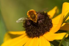 Heuschrecken-Bienen-Fliege, Systoechus gemein stockbilder