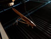 Heuschrecken-Insekt, das an der dünnen Linie des Spinnennetzes hängt Stockbilder