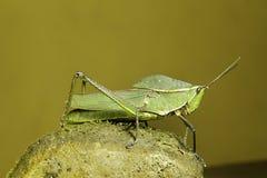 Heuschreckeninsekt des tropischen Amazonas-Regenwaldes Lizenzfreies Stockbild