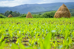 Heustapel auf einem Maisfeld Stockbild