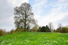 Heuvel met gele narcissen en lindeboom Stock Foto's