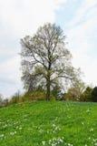 Heuvel met gele narcissen en lindeboom in de lente Royalty-vrije Stock Fotografie