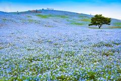 Heuvel van Nemophila-bloemen bij Hitachi-Kustpark stock foto