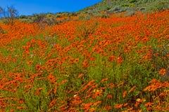 Heuvelig gebied met oranje madeliefjes royalty-vrije stock fotografie